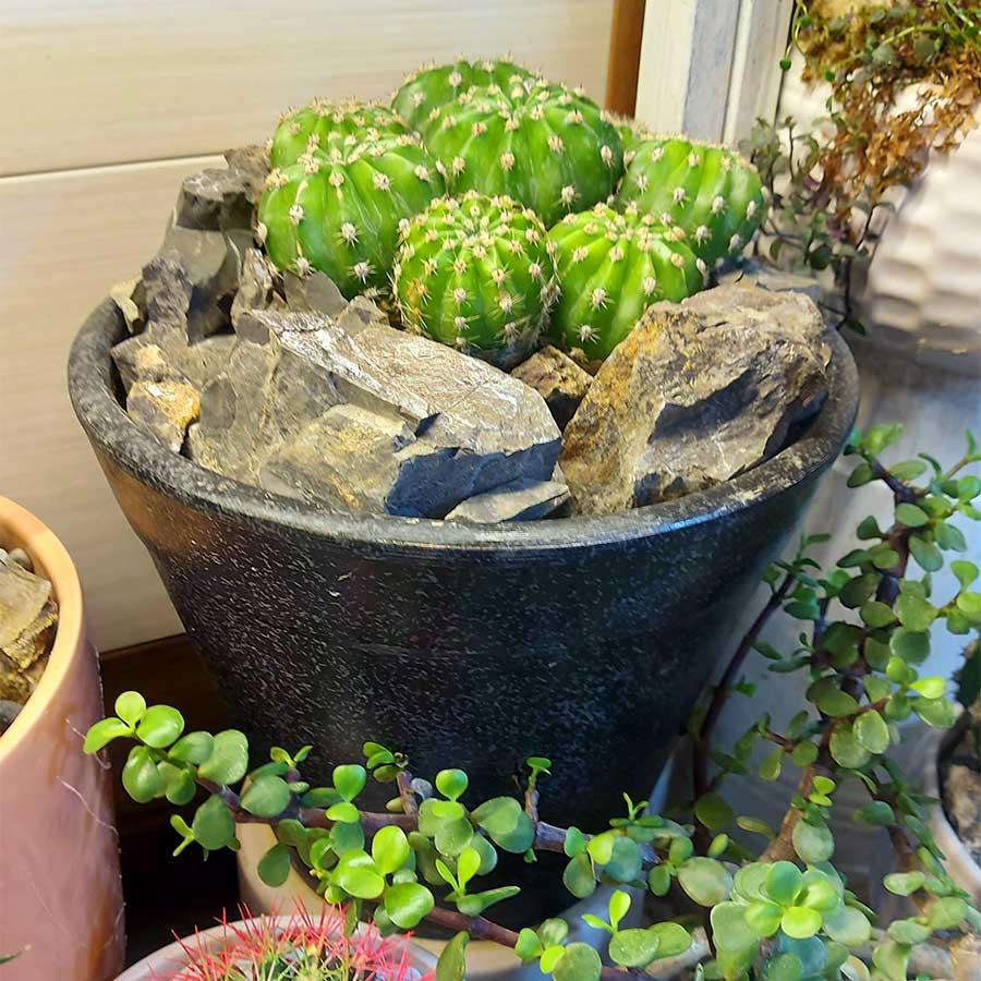 گلدان کاکتوس با تخته سنگ